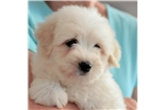 Featured Breeder of Coton De Tulears with Puppies For Sale