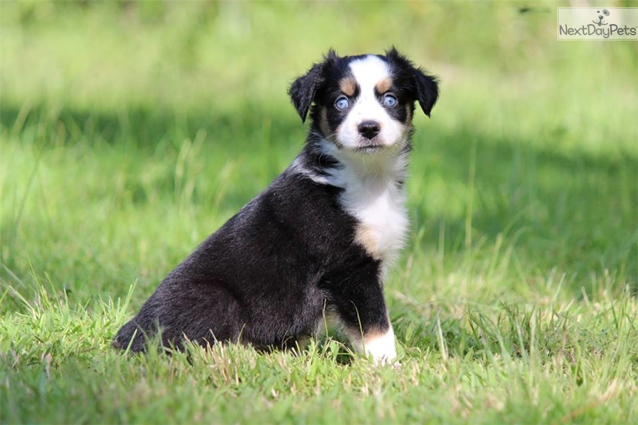 Jazz: Miniature Australian Shepherd puppy for sale near Daytona