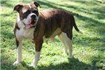 Picture of American Bulldog Girl