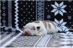 Picture of American Bulldog Boy