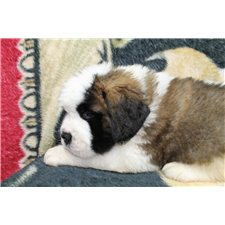 View full profile for Lasting Impression St. Bernards