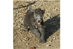 Picture of a Bedlington Terrier Puppy