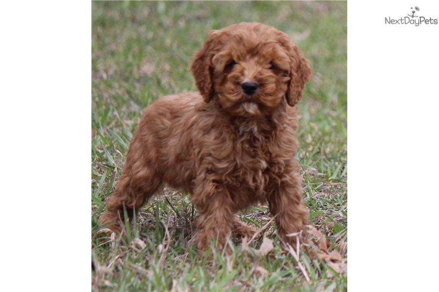 Cockapoo Puppy For Sale Near Grand Rapids Michigan 38affbcd 98f1