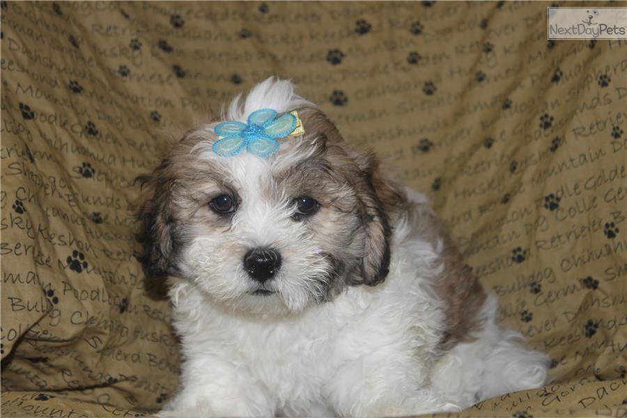 Lhasapoo Puppy For Sale Near York Pennsylvania 0f52bfe9