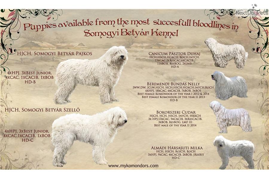 Abigél Komondor Puppy For Sale Near Budapest Hungary 5b977243 24b1