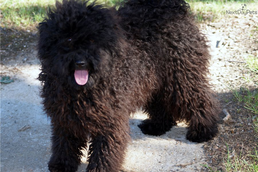 Dalma Puli Puppy For Sale Near Budapest Hungary 3b431546 Bb91