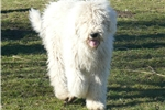 Picture of Female Komondor puppy for sale