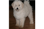 Picture of a Puli Puppy