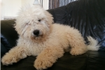 Picture of Hungarian Puli from Hungary