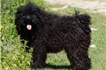 Puli for sale