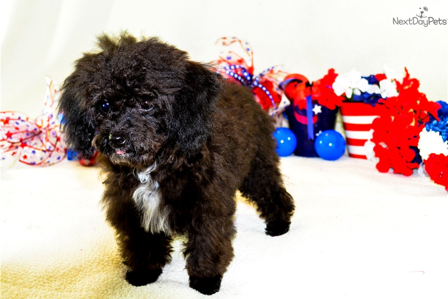 Angel Poodle Toy Puppy For Sale Near Southern Illinois