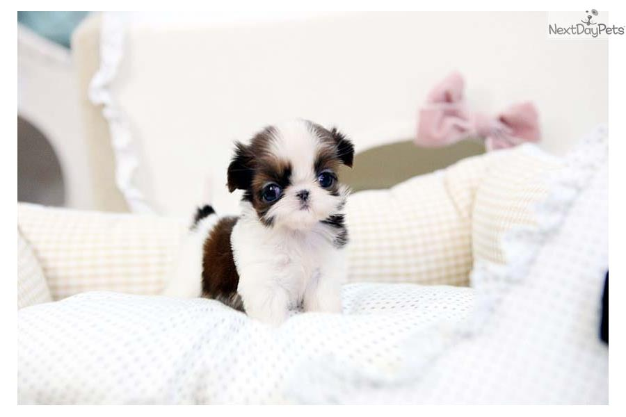 Tiny Teacup Shihtzu | Shih Tzu puppy for sale near ...