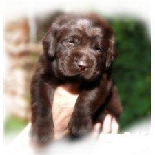 View full profile for Tru-Heart Labradors