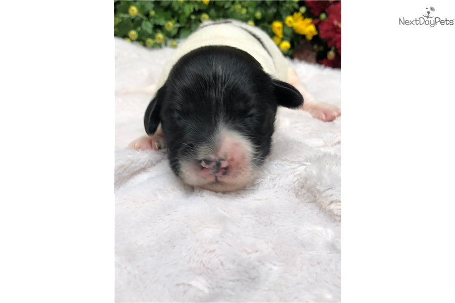 Omar Portuguese Water Dog Puppy For Sale Near Northern