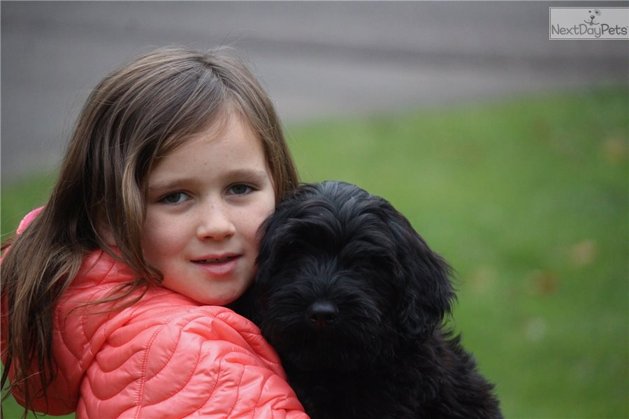 Kitkat Portuguese Water Dog Puppy For Sale Near Northern