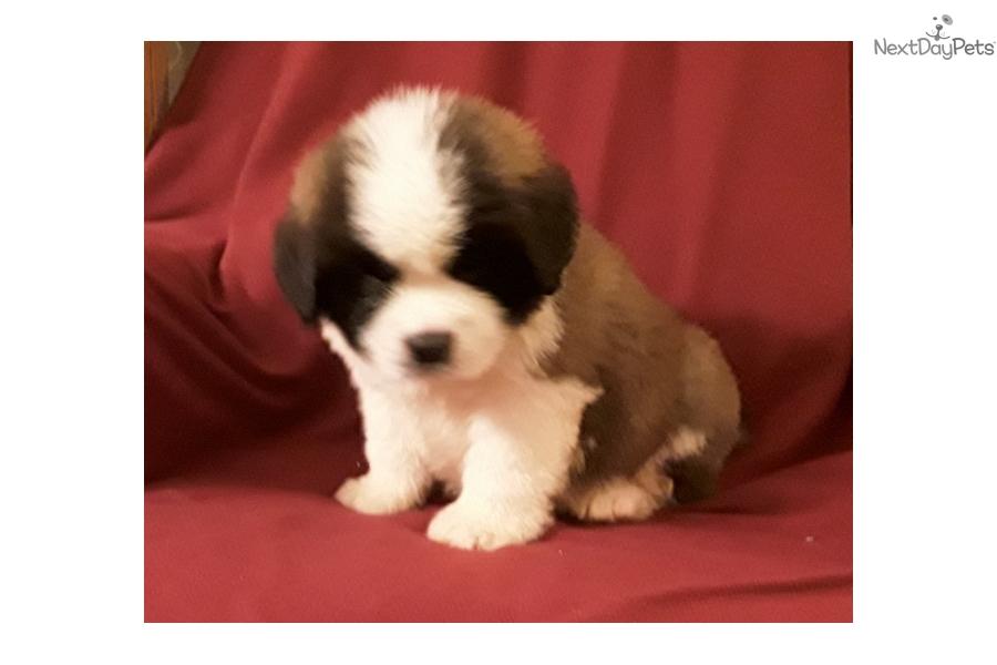 Ike Saint Bernard St Bernard Puppy For Sale Near Brainerd