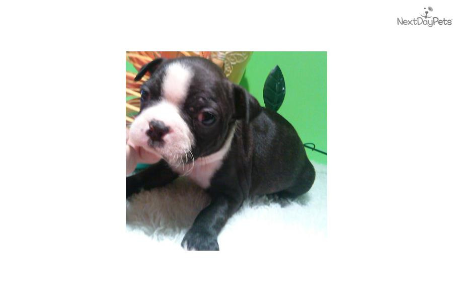 Boston terrier near me for sale : Pay icon in contacts 6th
