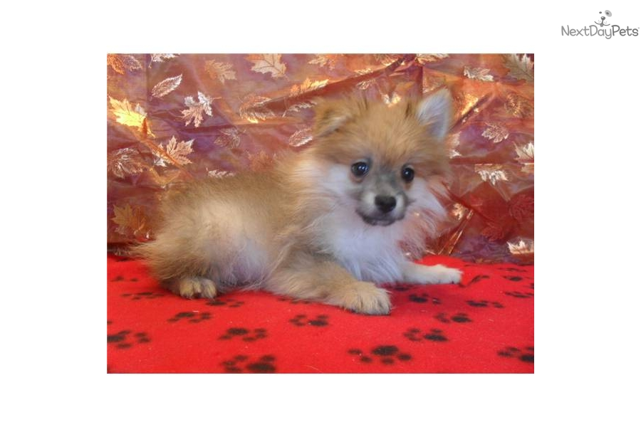 pomeranian breeders michigan pomeranian for sale for 275 near detroit metro michigan 3090
