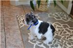 Picture of AKC ~~Handsome Lil Reggie~~