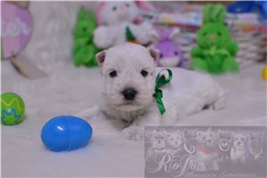 Schnauzer Miniature Puppies For Sale From Kansas Breeders
