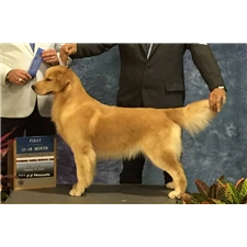 View full profile for Dreamers Golden Kennel
