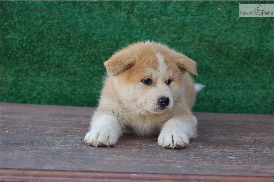 Japanese Akita Akita Puppy For Sale Near Los Angeles California