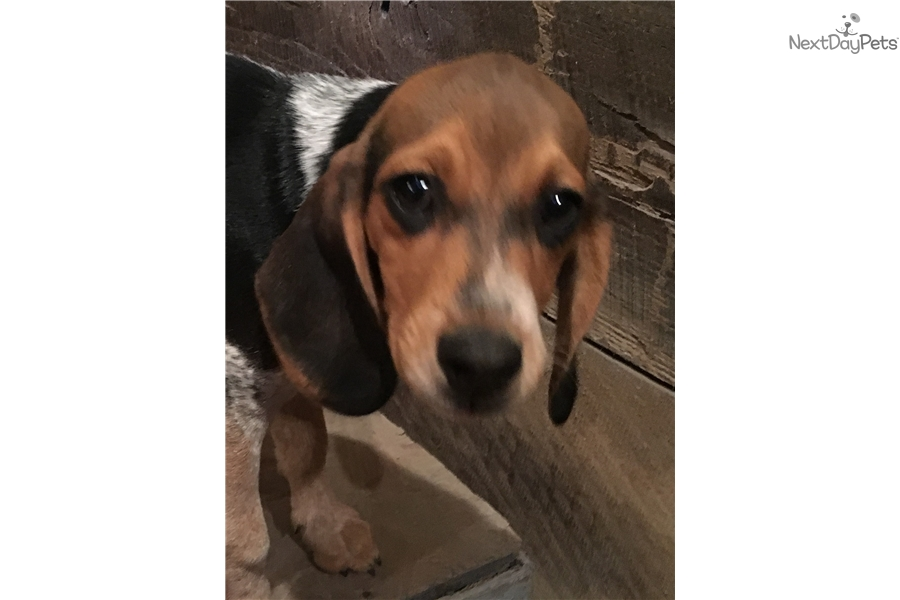 Clues Beagle Puppy For Sale Near Harrisonburg Virginia 6ea392e8 F6a1