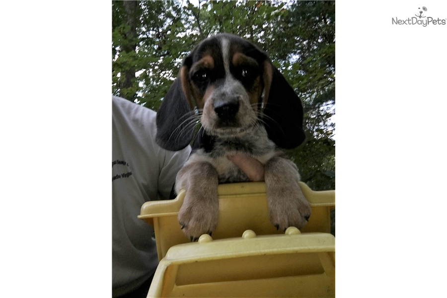 Blanket Back Male Beagle Puppy For Sale Near Harrisonburg Virginia