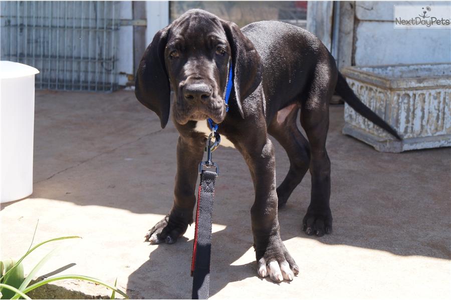 Great Dane Puppy For Sale Near Abilene Texas A1cda60c 34f1
