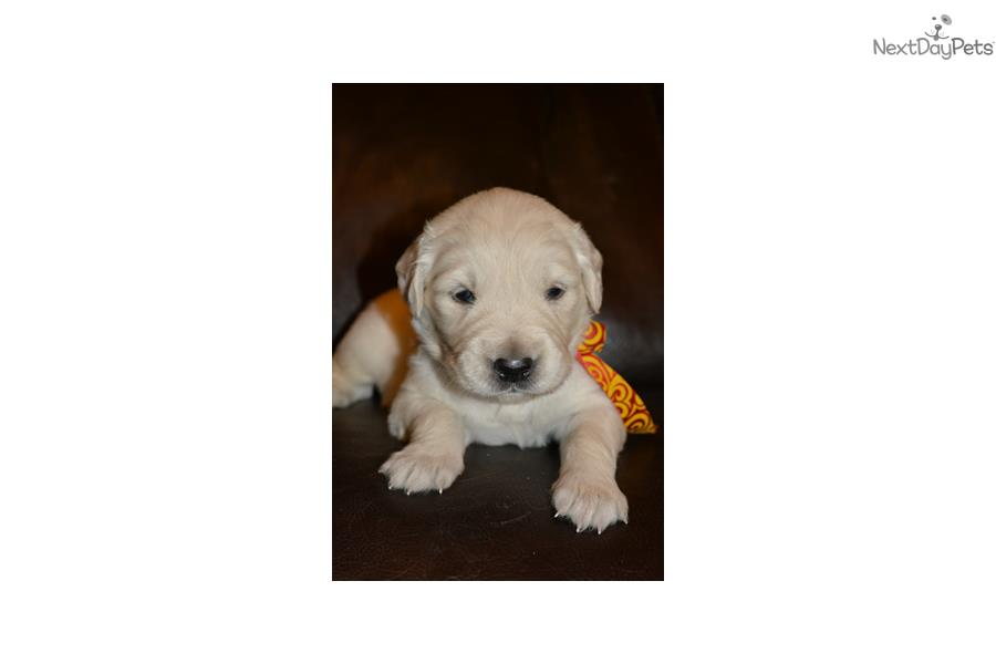 golden retriever puppies denver colorado english golden retriever puppy for sale near denver 6154