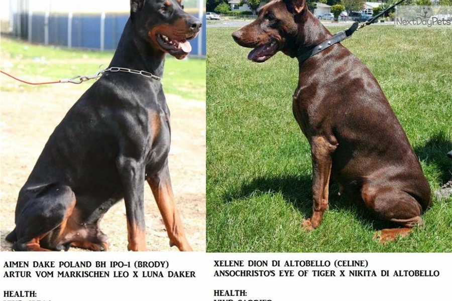 Doberman Puppies For Sale In Dfw Area
