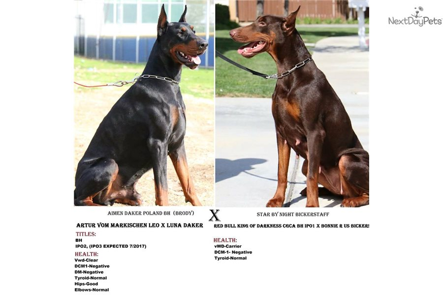 Doberman Pinscher Puppy For Sale Near Los Angeles California A1ee080a A1f1