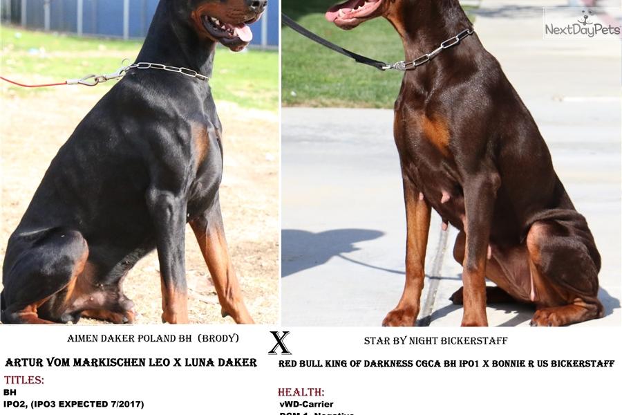 Euro Pups: Doberman Pinscher puppy for sale near Los