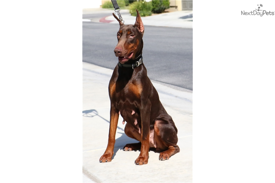 Euro Pups Doberman Pinscher Puppy For Sale Near Los Angeles California Ad211097 B0e1