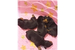 Picture of Super dark big head european doberman pups!!