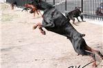 Picture of Simply beautiful European Doberman pups FULL AKC