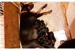 Picture of 100% Working European Big head dark doberman pups