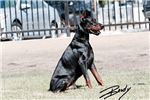 Picture of Superior Size Dark markings European Doberman Pups