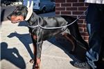 Picture of 8 month European Doberman male VWD & DCM clear!