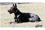 Picture of 100% European Doberman pups FULL AKC & Ear Cropped