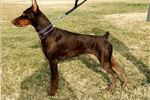 Picture of 100% All working line European doberman puppies
