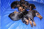 Picture of Working line euro doberman pups sired IPO2 Champ