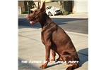 Picture of 7 month old 100% working Euro Doberman male puppy