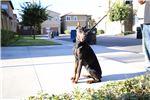 Picture of Superior Size DARK European Doberman puppies!
