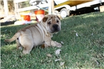 Picture of a Chinook Puppy