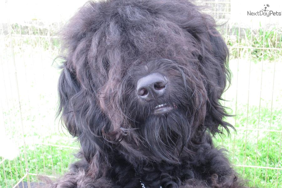 Vincent Barbet Puppy For Sale Near Seattle Tacoma Washington