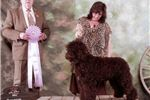 Picture of Ch Sired Barbet  French Water dog