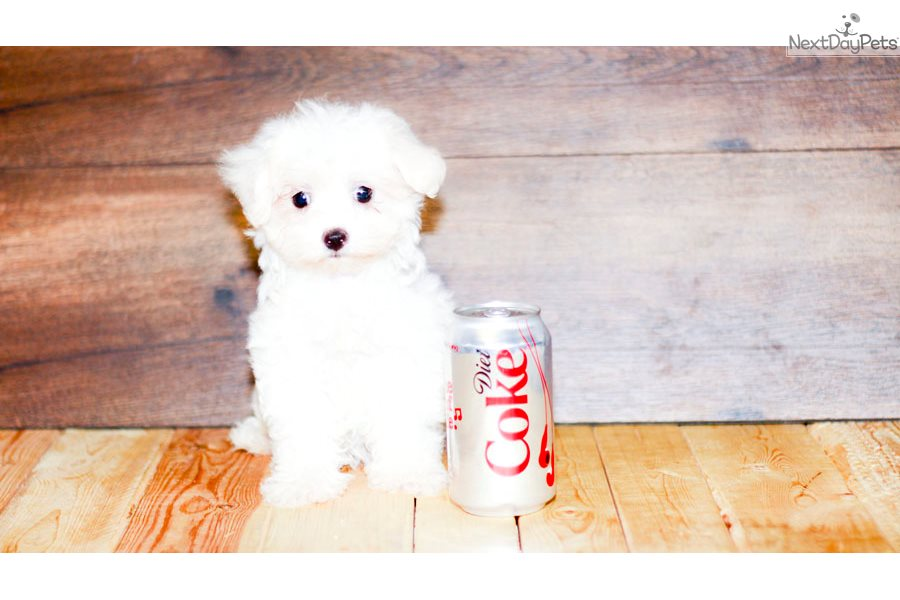 Small Breed Dogs For Sale Columbus Ohio