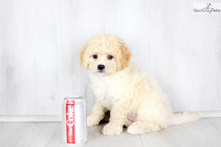 Cavapoo puppy for sale near Columbus, Ohio   9c1491d5-74c1