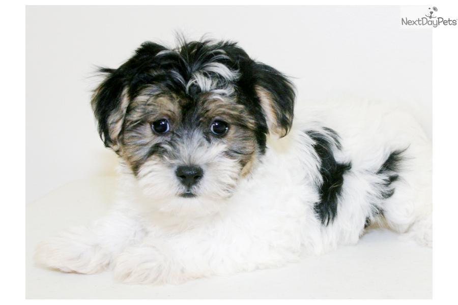 Havanese puppy for sale near Columbus, Ohio | 8da51ca0-e6f1